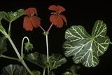 Pelargonium X Hederaefolium 'Christian' (Ivy-Leaf Geranium)