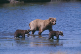 Grizzly Cubs with Mother in River