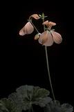 Pelargonium X Hortorum 'Taurus' (Common Geranium  Garden Geranium  Zonal Geranium)