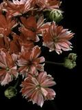 Pelargonium X Hortorum 'Etoile Rambler' (Common Geranium  Garden Geranium  Zonal Geranium)