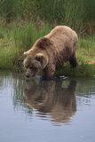 Grizzly Wading in Stream