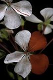 Pelargonium X Hortorum 'Milden' (Common Geranium  Garden Geranium  Zonal Geranium)
