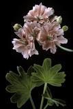 Pelargonium X Hortorum 'Orange Pixie' (Common Geranium  Garden Geranium  Zonal Geranium)