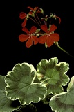 Pelargonium X Hortorum 'Dolly Vardon' (Common Geranium  Garden Geranium  Zonal Geranium)