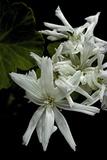 Pelargonium X Hortorum 'Noel' (Common Geranium  Garden Geranium  Zonal Geranium)
