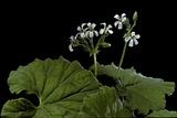 Pelargonium Odoratissimum (Apple Geranium)