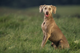 Weimaraner Sitting in Field
