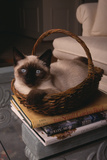 Siamese Cat Sitting in Basket on Coffee Table