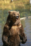 Grizzly Standing in Stream