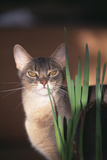 Abyssinian Ruddy Cat Sniffing Plant