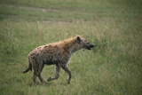 Brown Hyena Running in Grass