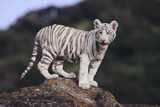 White Bengal Tiger Cub on Rocks