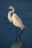 Great Egret Walking in Water