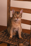 Abyssinian Ruddy Cat Sitting on Chair