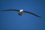 Black-Browed Albatross Flying