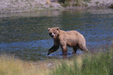 Grizzly Walking in River