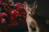 Abyssinian Ruddy Cat next to Plant