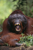 Male Orangutan Baring His Teeth