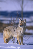 Coyote Walking in Snow