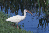 White Ibis Standing by Water
