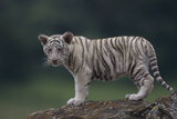 White Bengal Tiger Cub on Rocks