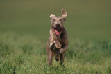 Excited Weimaraner Running in Field