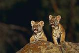 Bengal Tiger Cubs on Rocks
