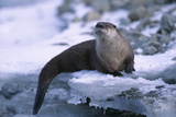 River Otter on Ice by River