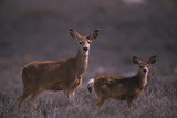 Doe and Fawn in Field