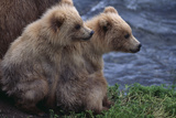 Grizzly Cubs with Mother by River