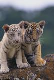 Bengal Tiger Cubs on Rocks Papier Photo par DLILLC