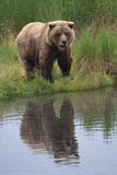 Grizzly by Stream