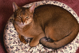Abyssinian Ruddy Cat Lying on Cushion