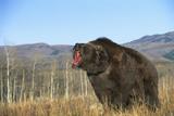 Grizzly Roaring in Field