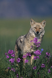 Coyote in Field with Wildflowers