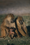 Yellow Baboons and Baby