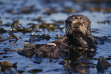 Sea Otter Floating in Kelp