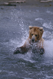 Grizzly Splashing in Water