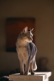 Abyssinian Blue Cat on Pedestal