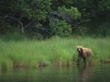 Brown Bear on Riverbank