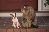Chihuahua and a Cat
