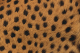 Cheetah Fur