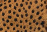 Cheetah Fur