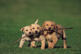 Yellow Lab Puppies Playing with Stick
