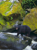 Black Bear in Stream