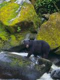 Black Bear in Stream