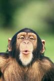Chimpanzee Puckering its Lips
