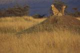 Cheetahs Keeping Watch