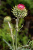 Thistle Blooming