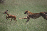 Cheetah Chasing Impala Foal in Grass